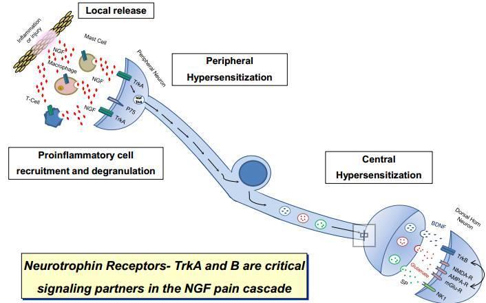 非阿片类镇痛潜力靶点:从CIPA发现的NGF-TRKA通路