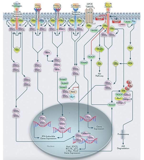 JAK-STAT 信号通路靶向药物浅析