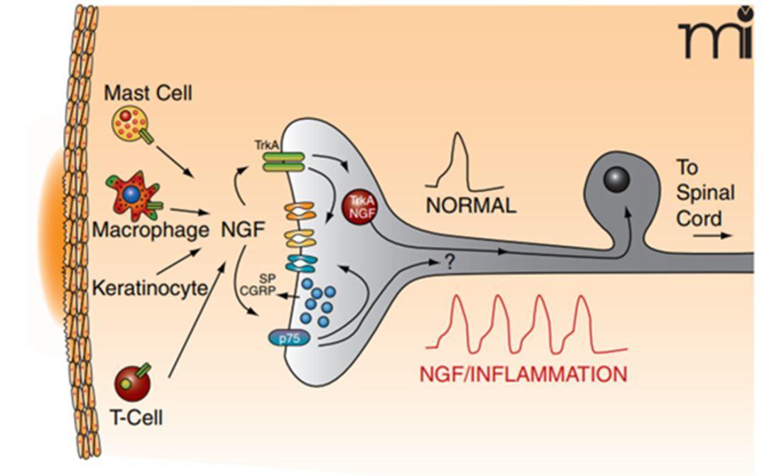 诺奖32周年 || 神经生长因子发现及成药记 (镇痛---抗癌---神奇眼药水)