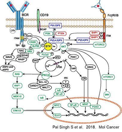 紫薯博士专栏 | BTK 靶向药物最新进展小结
