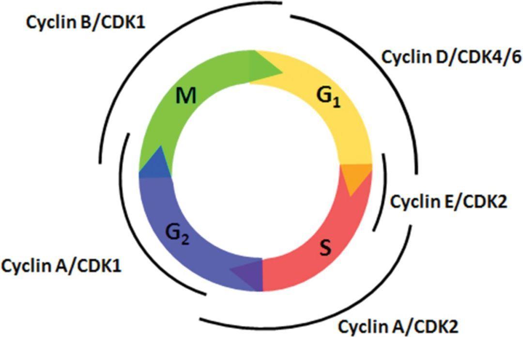 CDK抑制剂:从试验台到病榻旁,明天是否更辉煌?