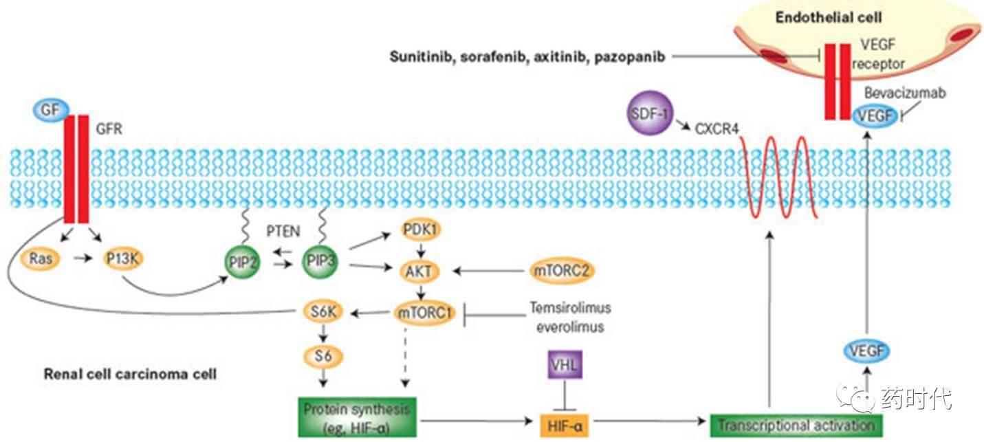 原创首发 | 肾癌靶向、免疫疗法现状及组合前景