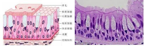 创芯构建Accuroid™呼吸道粘膜类器官 助力冠状病毒的研究