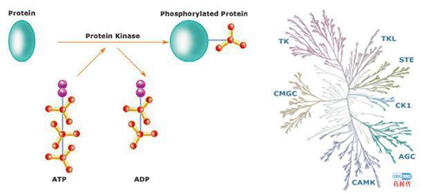 紫薯博士专栏 | FDA批准的52个小分子激酶抑制剂汇总及耐药机制和研发新挑战