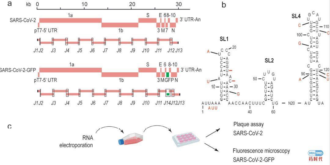 瑞士学者人工合成出新冠病毒:能在一周之内生产或改造出大量病毒活体