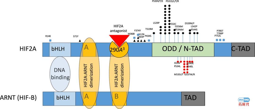 紫薯博士专栏 | 靶向诺奖靶点HIF-2α的别构抑制剂最新进展小结