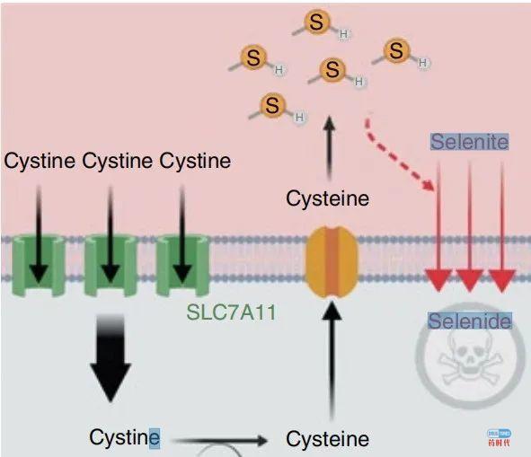 Nature子刊:人体必需的微量元素硒,竟是癌细胞毒药,美科学家发现癌细胞致命弱点