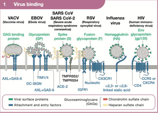 病毒如何感染细胞?Cell典藏版详述:Virus Entry!