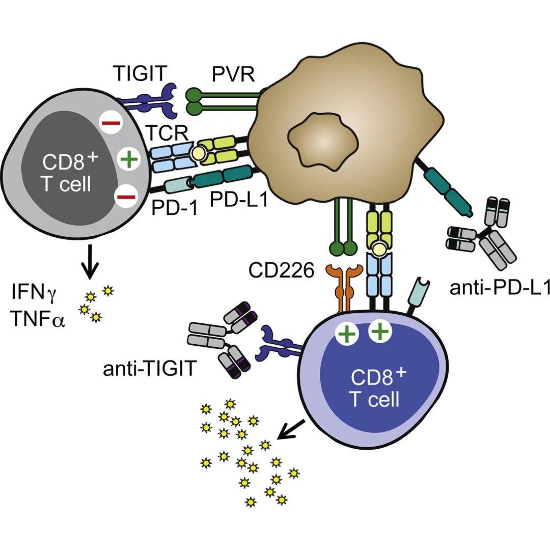 挑战PD-(L)1?TIGIT能否引领肿瘤免疫治疗新时代