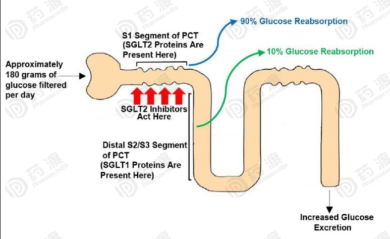 """""""上帝的礼物——SGLT2抑制剂"""",还能给人类带来多少惊喜?"""