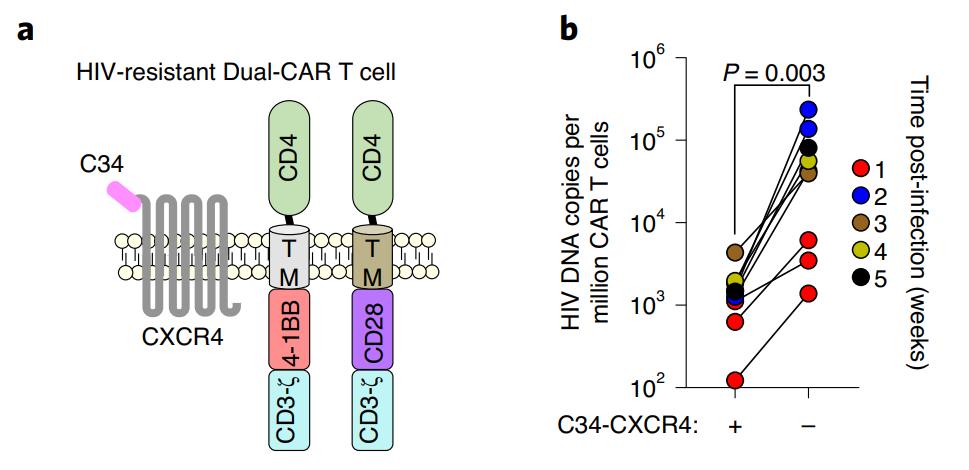 Nature子刊:新型双CAR-T细胞疗法,快速清除体内HIV病毒,持久保护