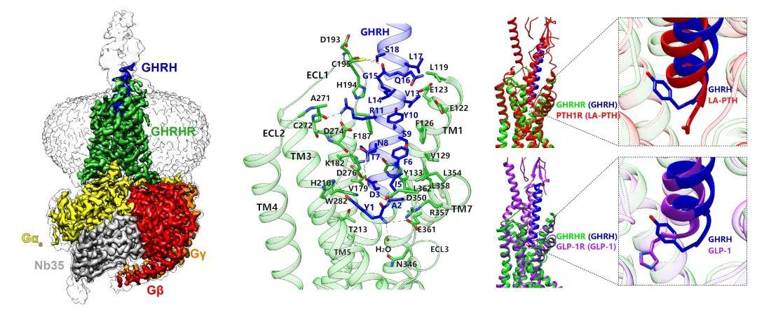 《自然通讯》| 我国科学家对生长激素释放激素受体的结构、功能和相关疾病的研究取得重要进展