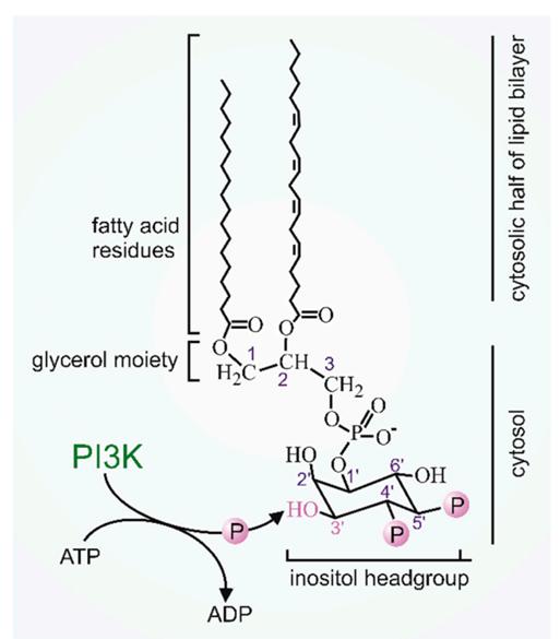 PI3K抑制剂:从靶向治疗走向肿瘤微环境