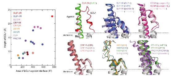 Cell Research   人源胰高血糖素样肽-2受体复合物三维结构成功解析