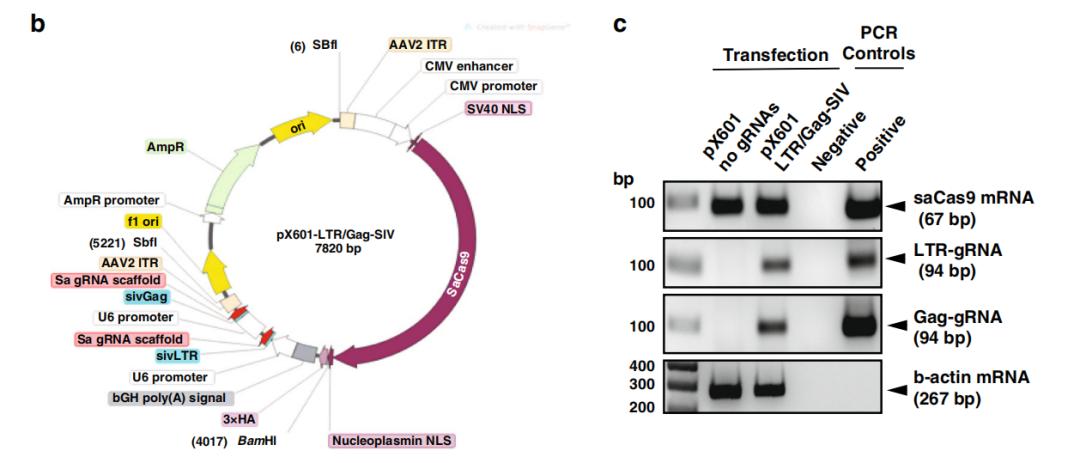 朝彻底治愈艾滋病迈进一大步!CRISPR成功在灵长类中编辑类HIV病毒