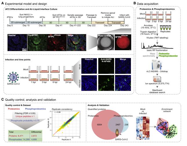 Cell子刊:新冠病毒是如何劫持并摧毁人类肺部细胞的