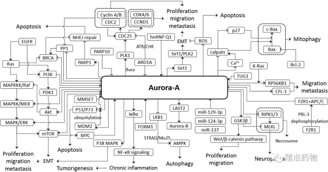尚未成药靶标Aurora:20多个品种研发失败,多家公司仍前赴后继