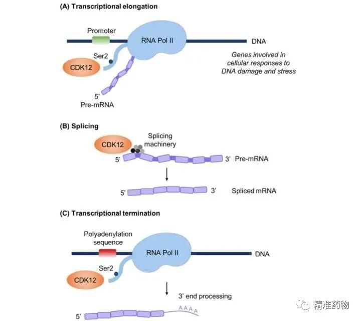 肿瘤潜在新靶标:CDK12