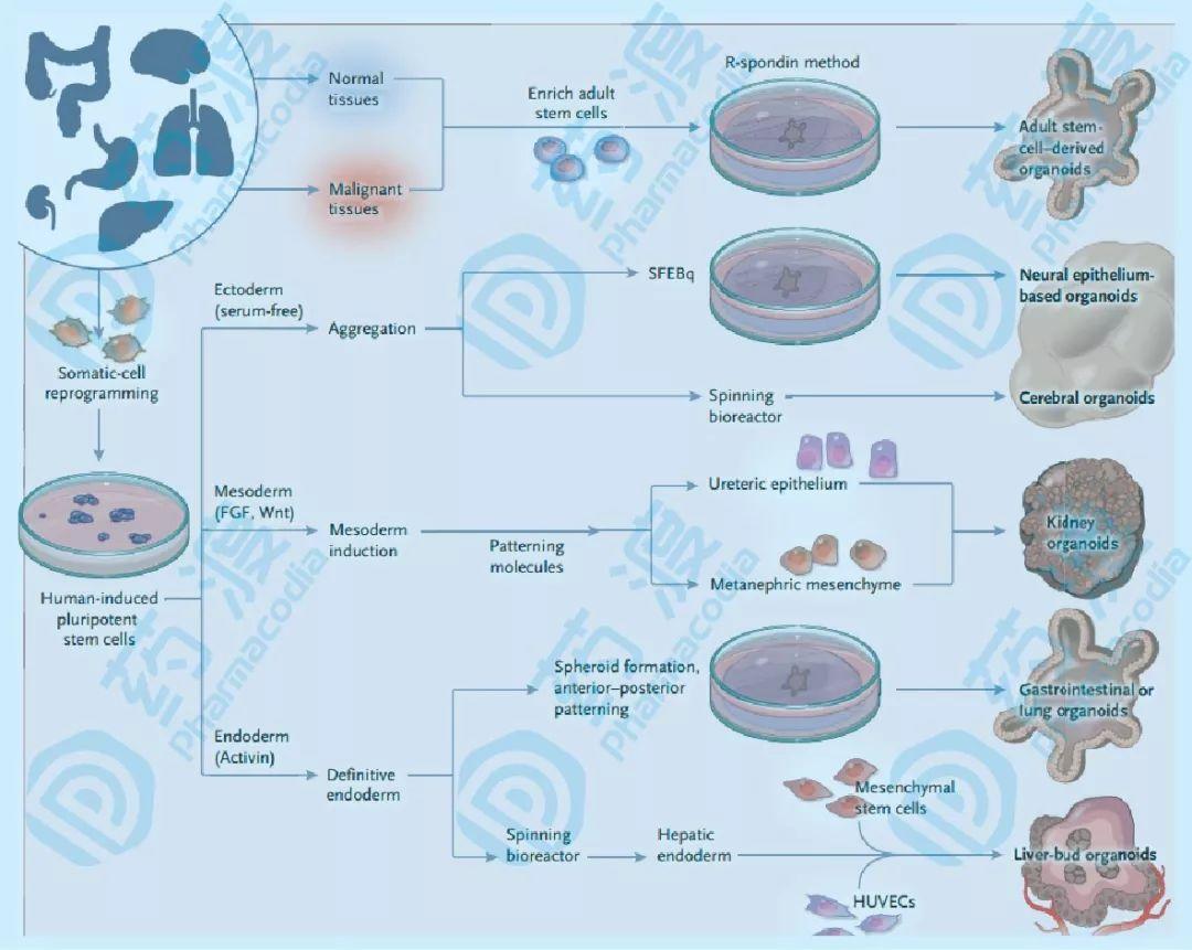类器官——疾病研究和药物开发的重要工具