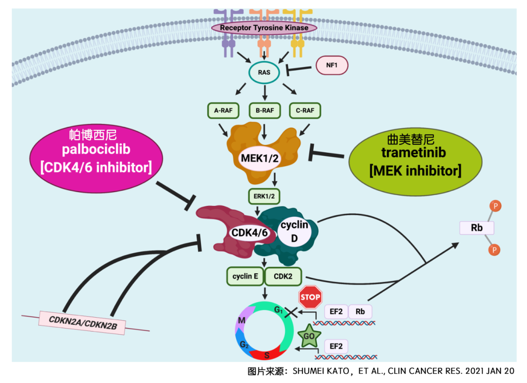 振奋丨众癌之王胰腺癌可通过曲美替尼联合帕博西尼治疗