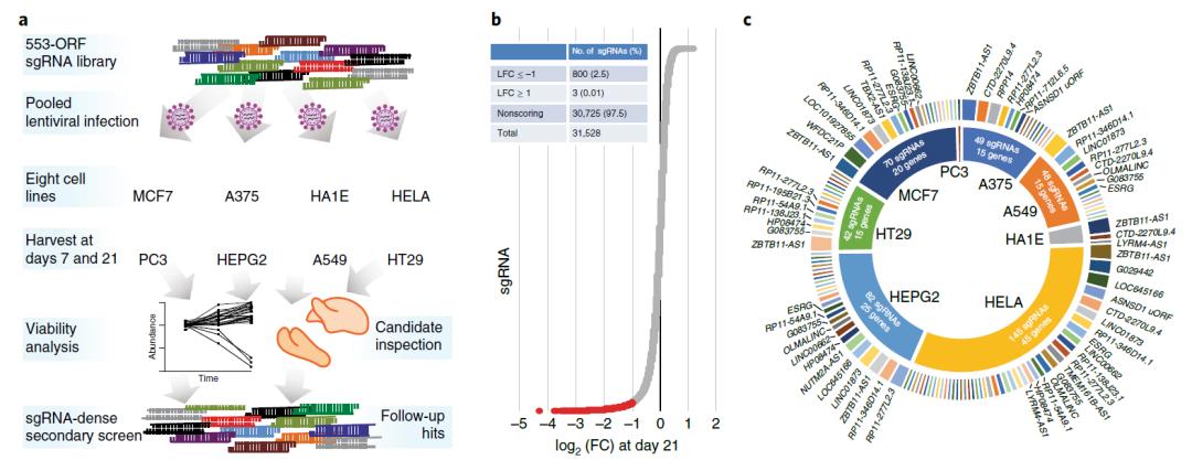 人类基因组中这些被忽视的非编码序列,被发现普遍表达癌细胞生存必需蛋白