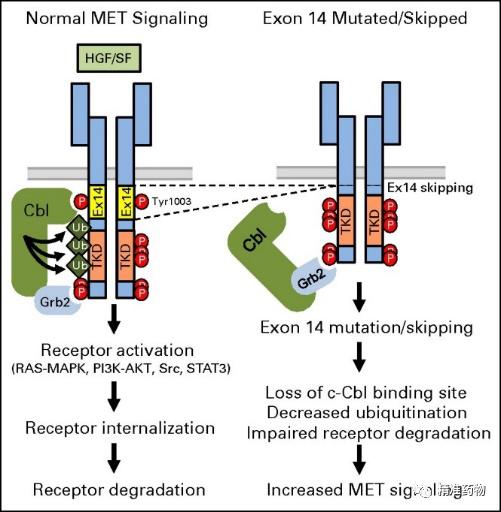 FDA批准第63个小分子激酶抑制剂特泊替尼(tepotinib)上市,用于MET跳突非小细胞肺癌