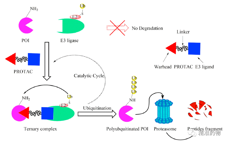 综述50多个靶标的PROTAC降解剂,这些科学问题亟需解决