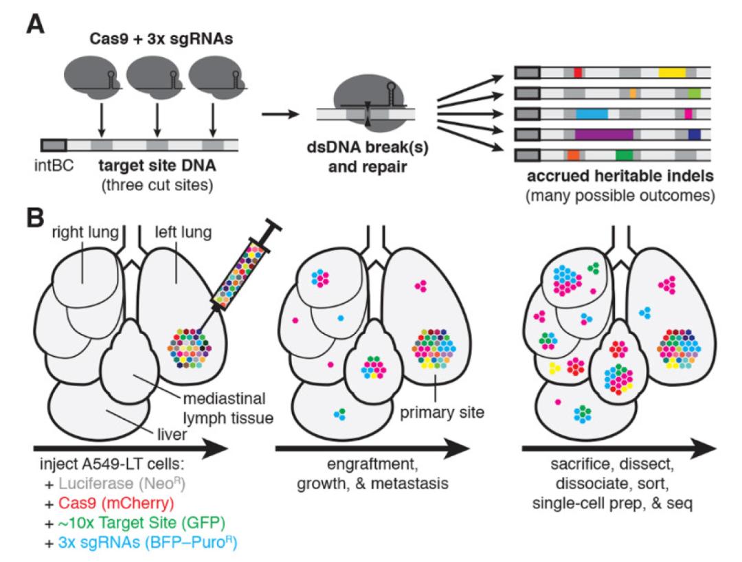Science:CRISPR技术追踪癌细胞转移动态,为抗癌药物研究开辟新方向