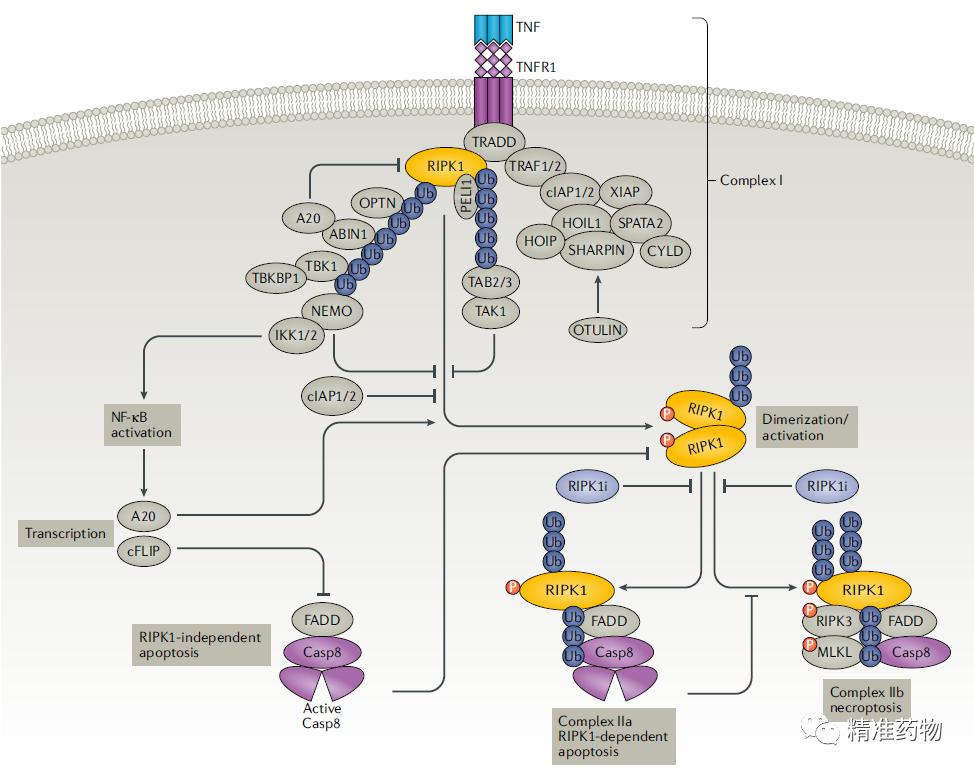 RIPK1激酶抑制剂潜力无限:袁钧瑛开发首个,礼来9.6亿美元刚买了1个