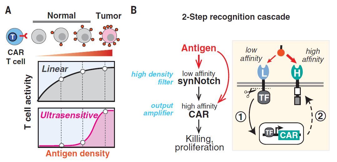Science重磅:CAR-T攻克实体瘤的质的飞跃,只杀癌细胞,不伤健康细胞