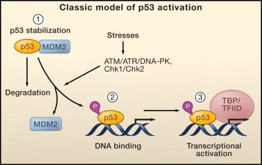 挑战传统理论:顾伟团队发现p53蛋白稳定非其抑癌作用所必需