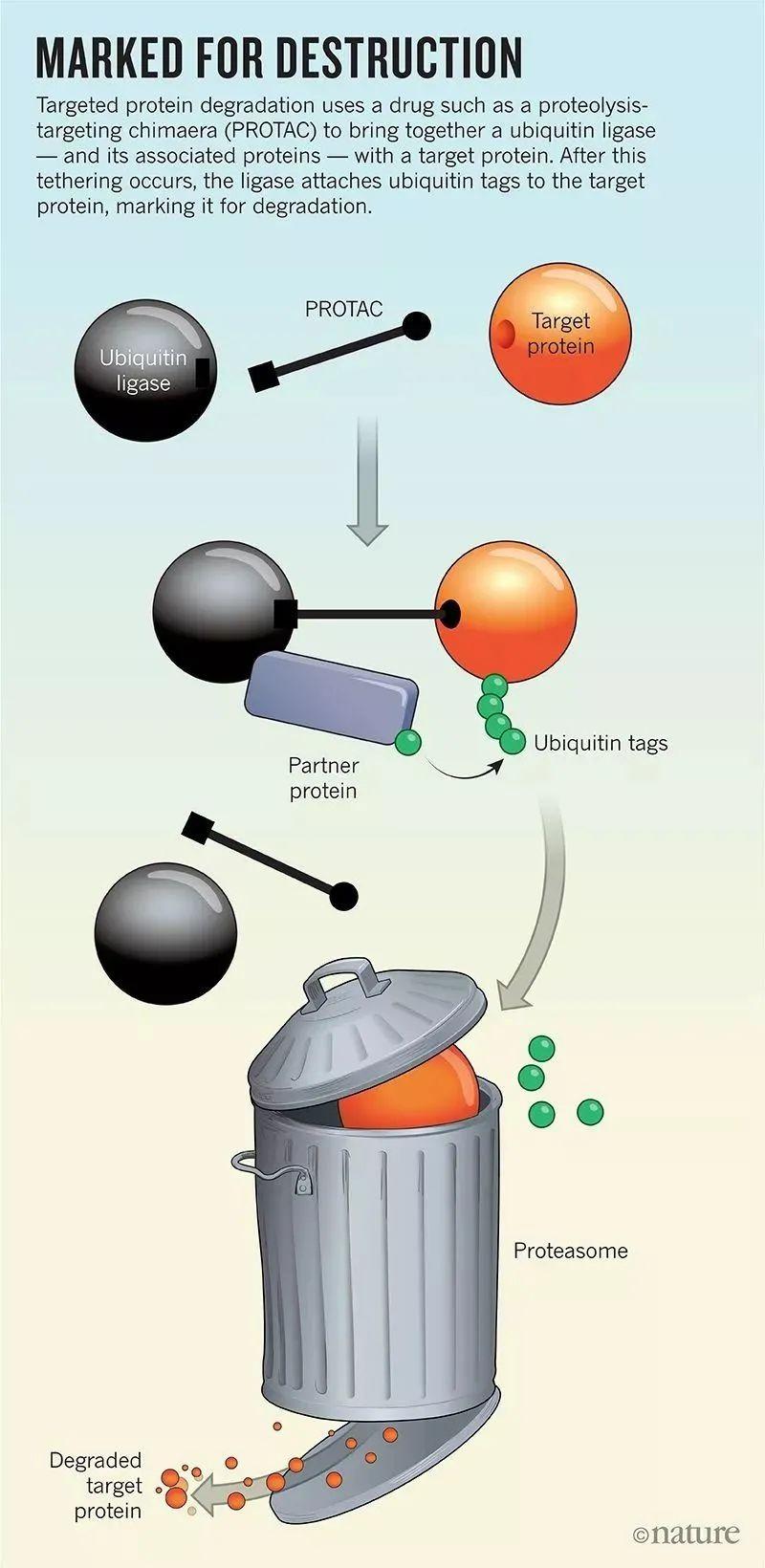 PROTAC新技术开启肿瘤靶向治疗新领域