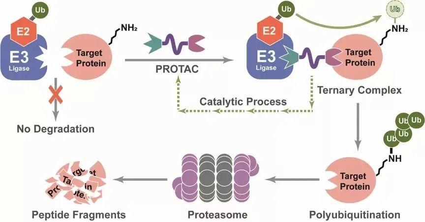 15款产品蜂拥入临床,PROTAC能否重塑小分子荣光?