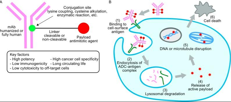 首款靶向CD19的ADC新药Zynlonta获批!助力大B细胞淋巴瘤治疗