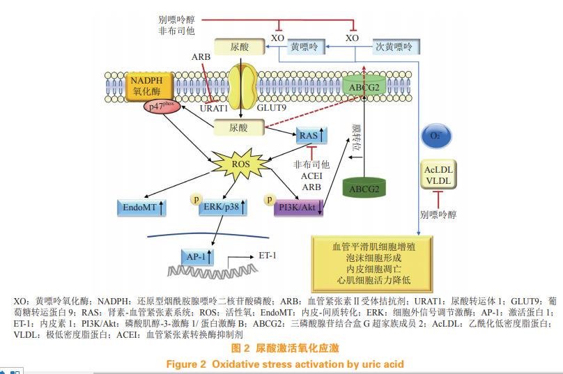 孔炜教授|尿酸与心血管疾病关系的研究进展