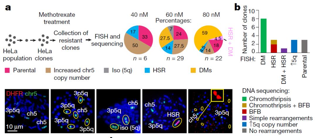 Nature:染色体碎裂会促进ecDNA形成,进而赋予癌细胞抗药性