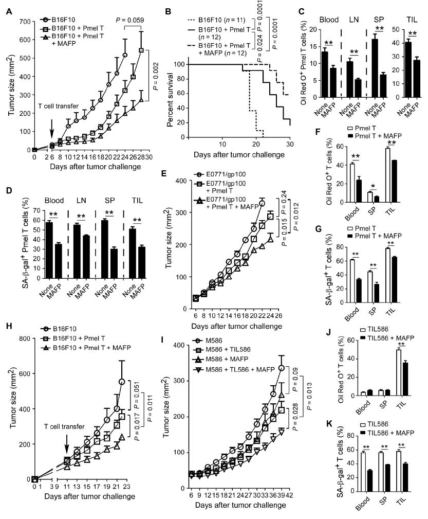 Science子刊:重编程脂质代谢,可防止T细胞衰老,增强癌症免疫疗法