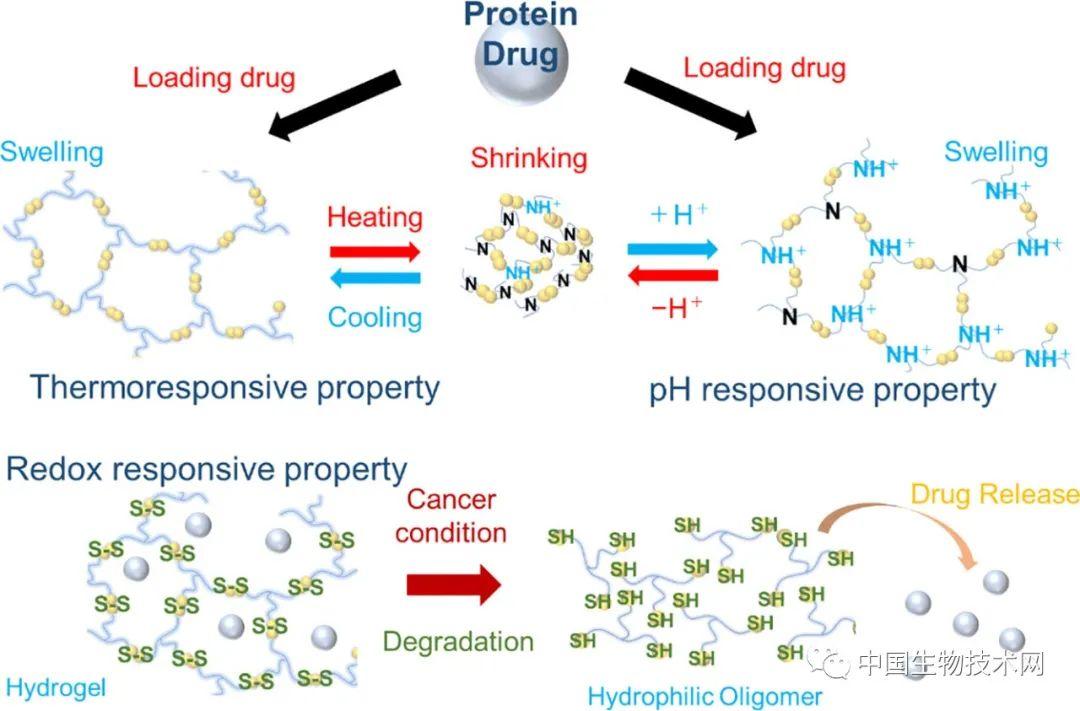 日本科学家开发新型水凝胶 可以根据温度和pH值释放抗癌药