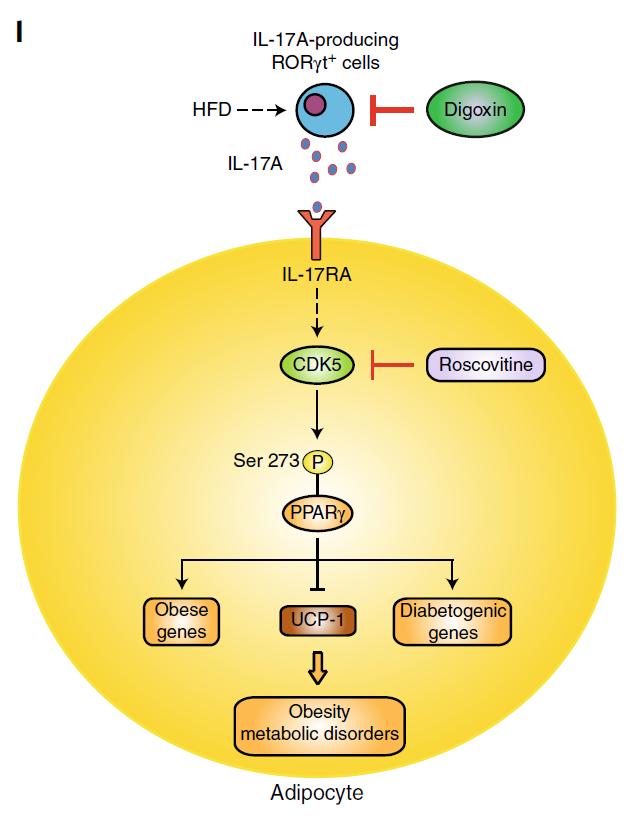 Nature子刊:抑制这个细胞因子,不用克制饮食也能减肥