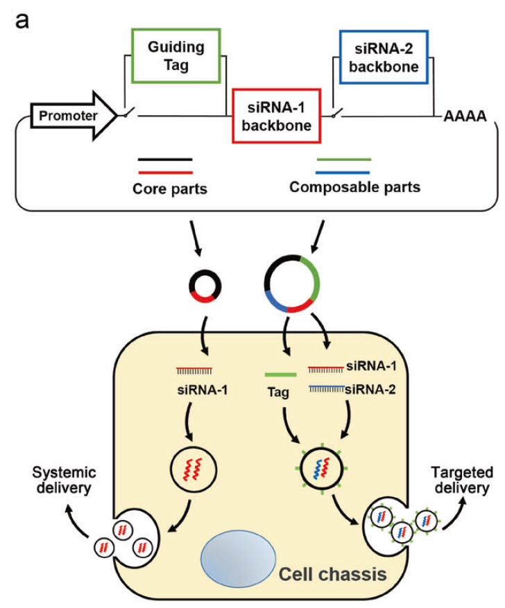 Cell Res:让RNAi疗法成为可能,张辰宇团队开发下一代RNAi治疗技术