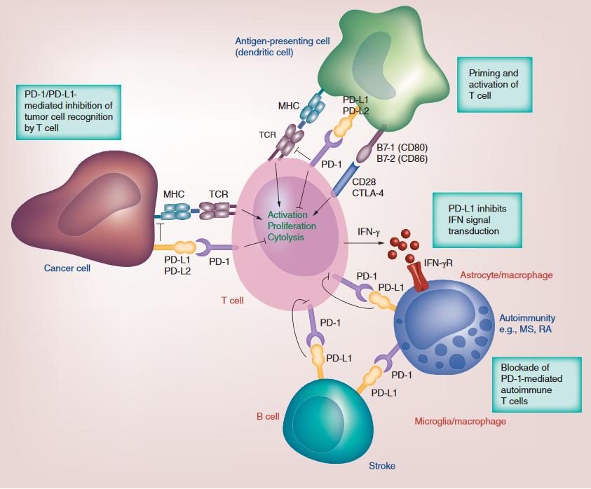 PD-1 / PDL-1抑制剂在癌症免疫治疗中的当前和未来展望