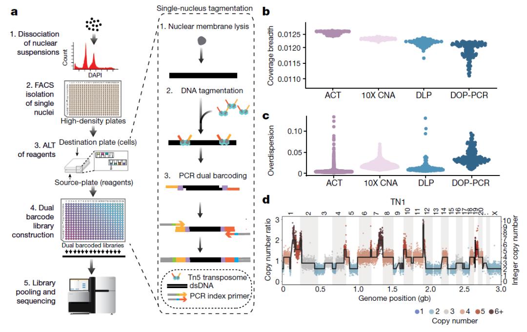 Nature:新型单细胞测序技术,揭示乳腺肿瘤生长过程中持续积累遗传突变