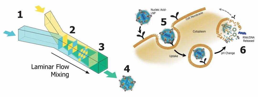 为什么说mRNA新冠疫苗赢在了起跑线上? ——从mRNA疫苗的成功,看纳米制药技术的应用