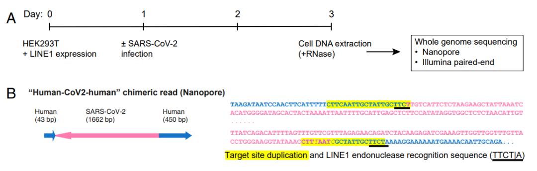 顶住巨大压力发表,新冠病毒会插入并整合到人类基因组中?