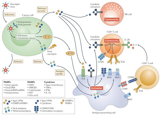 五种溶瘤病毒的升级武装策略!