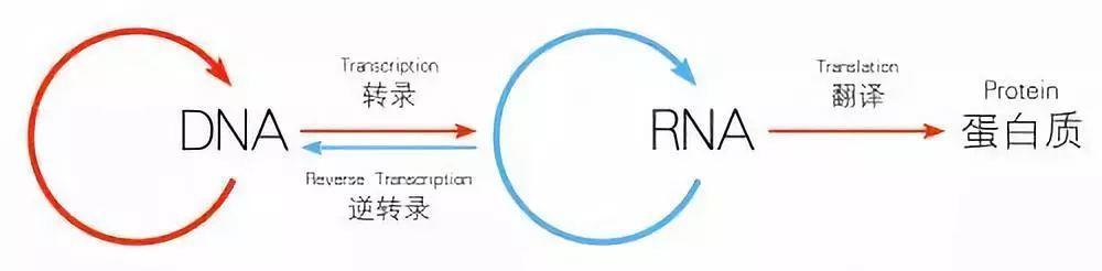 改写教科书!人类细胞可将RNA序列写入DNA,生命基本定律中心法则遭挑战!