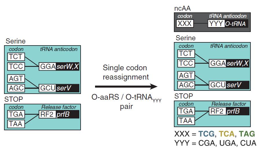 Science重磅:上帝之手!改写遗传密码,在蛋白质中加入新的非天然氨基酸