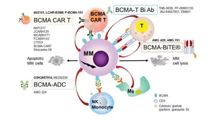 基于BCMA靶点的CAR-T及双抗的悲喜二重奏