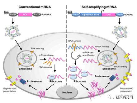 聚焦药靶:面对新冠病毒,mRNA疫苗会是未来的希望吗?