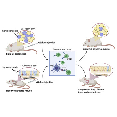 清除衰老细胞,改善血糖,延长绝症小鼠寿命!《Cell》子刊刊登免疫细胞新用途